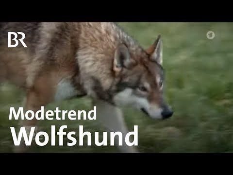 Modetrend Wolfhunde Gefahrliche Haustiere Als Angeblich Treue Gefahrten Report Munchen Br Youtube Hunde Wolf Hunde Haustiere