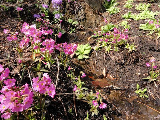 Feuchte bis Nasse Sickerstellen machen die Rosenprimel (Primula rosea) glücklich.
