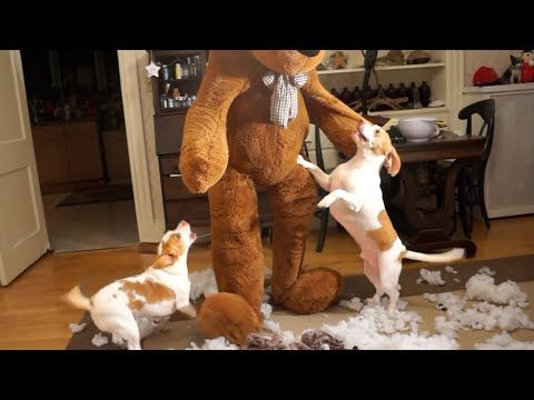 [video] See The Dogs Elf On The Shelf! - http://www.pawsforpeeps.com/video-see-the-dogs-elf-on-the-shelf/