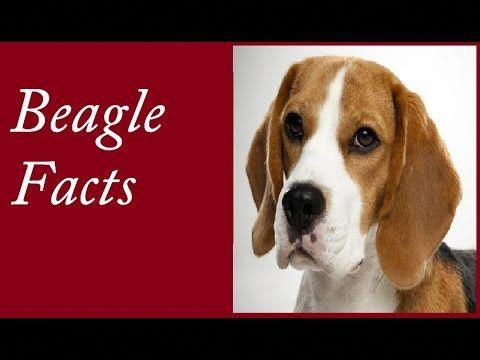 Beagle Tips Beagle Facts Beagle Beagle Weight