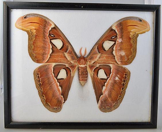 Giant Female Attacus Atlas Snakehead Moth Framed 9 by VSSoutlet
