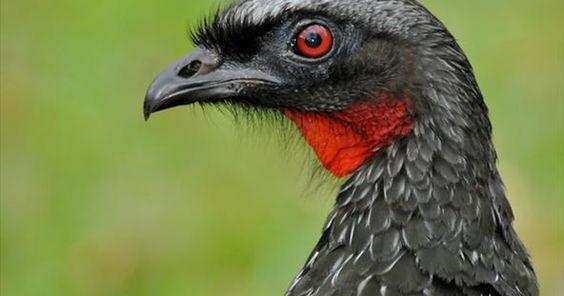 Jacuaçu macho tem íris e barbela vermelhas e emite forte grito de alerta