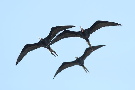 Three adult male Magnificent Frigatebirds up to no good. (Photo by Alex Lamoreaux)