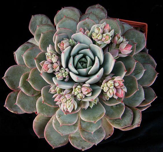 Echeveria x derenbergii  by Manue64, via Flickr