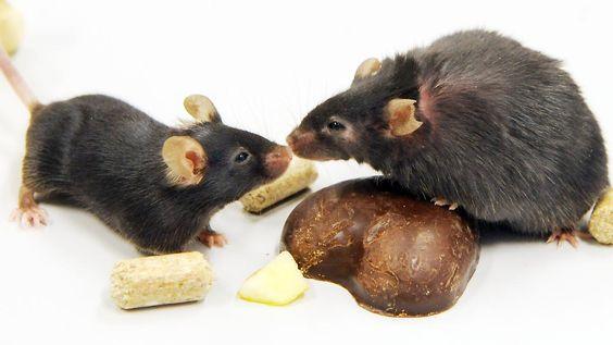 Mäuse im keimfreien Labor: Diäten schwächen das Immunsystem