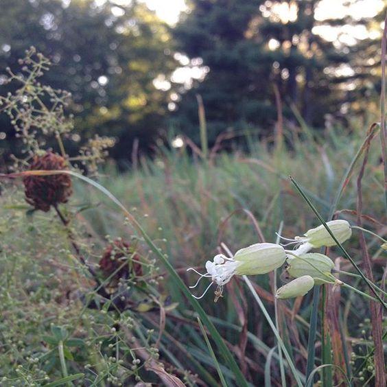 A September pasture close-up #vt  #vermont #wildflowers #pasture