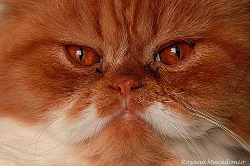 gatão