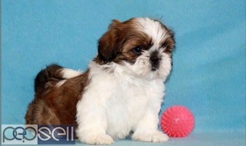 In Below Article We Will List All Shih Tzu Price Levels And Annual