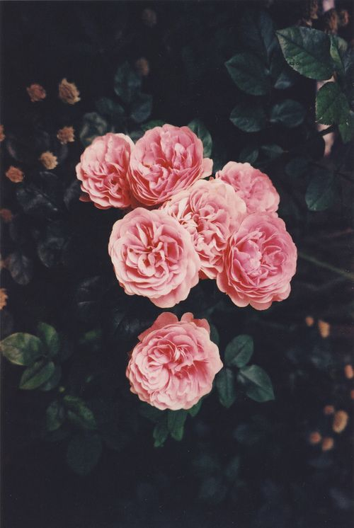 Pink Flowers Nature Photography Background Flower Wallpaper Flowers Vintage Flowers