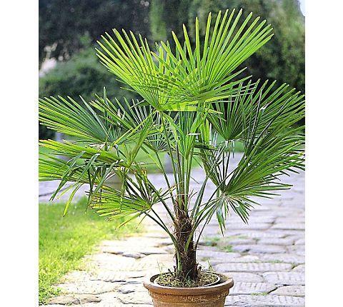 Winterharte Kübel-Palmen 2 Pflanzen, Hanfpalme Trachycarpus fortunei | GartenXXL.de