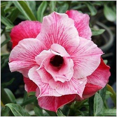 Adenium-Obesum-Desert-Rose-Impala-Lily-Pink-Grafted-Plants-Fresh