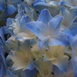 Hortensia nain  #fleurs