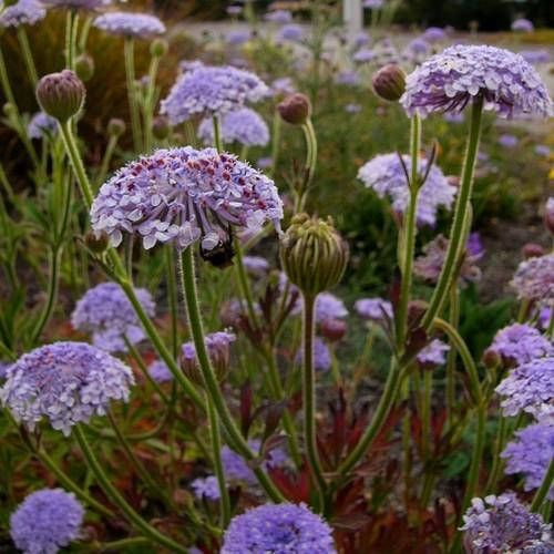 Blue Lace Flower Seeds Didiscus Caeruleus 50 Seeds Flower Seeds Blue And Purple Flowers Lace Flowers