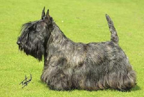 Scottish Terrier Killisport Mctavish At Boquhan Id 3121