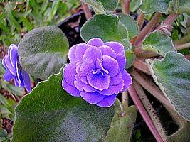 Saintpaulia ionantha, Violeta-africana
