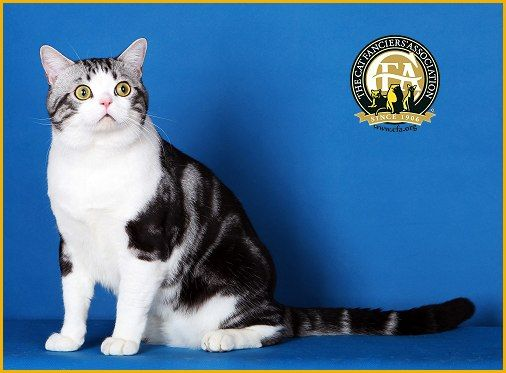 GC, BW, NW Getrichcat Pearl, Silver Tabby & White Male ...