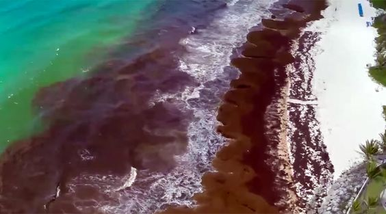 Mexico deploys navy to repel seaweed invasion (PHOTOS, VIDEO) http://pronewsonline.om  © NationNews Barbados
