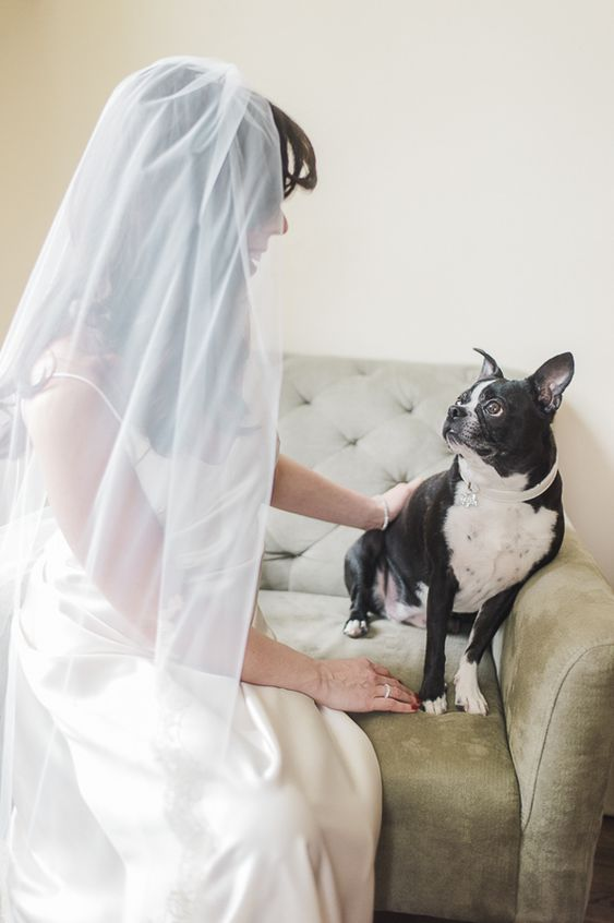 Boston Terrier looking up at bride, wedding pictures with dog. Rachel Watkinson Photography
