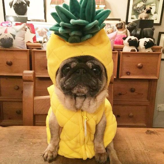 pineapple pug costumes, only on Pinterest would you find this.