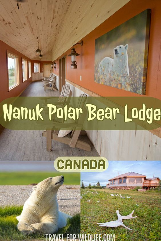 Walking With Giants A Polar Bear Tour Canadian Travel Canada