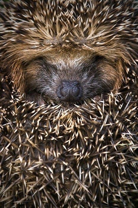 Hedgehogs! :p