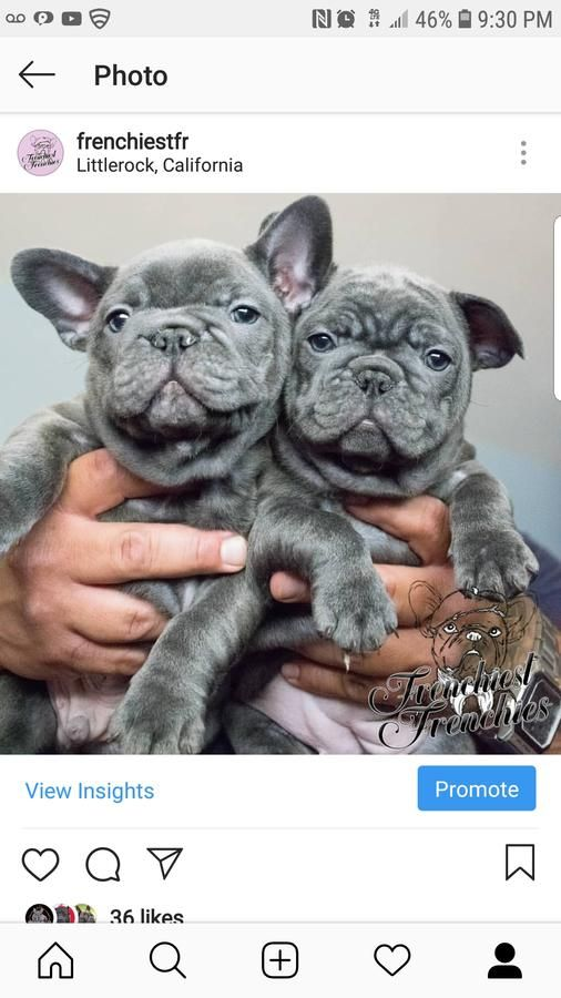Micro Blood French Bulldog Puppies In Littlerock California