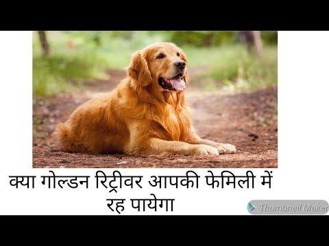Check Purity Of Golden Retriever Golden Retriever Dog Facts In