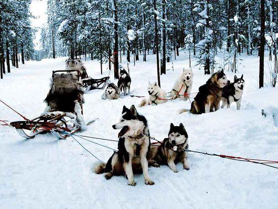 Chien de traineau : Randonnée chien de traineau et ski joering avec l'UCPA