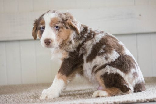 Australian Shepherd Puppy For Sale In Kent Oh Adn 64241 On