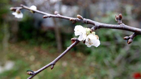 cerdeiras en flor en decembro. A voz de Galicia 27 decembro de 2014