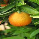 Mandarina para mejorar las defensas y evitar enfermedades cardiovasculares ecoagricultor.com