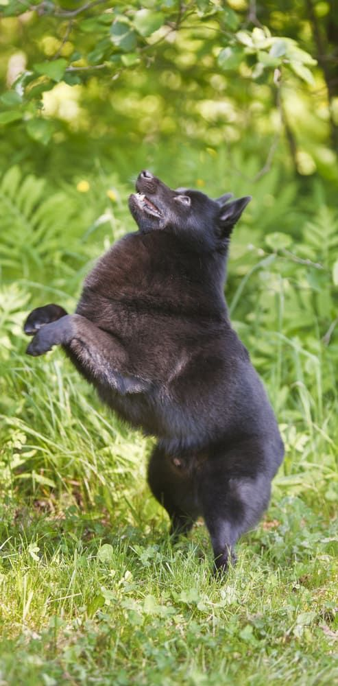 11 Dogs That Prove Small Is Powerful With Images Schipperke Dog Schipperke Schipperke Puppies