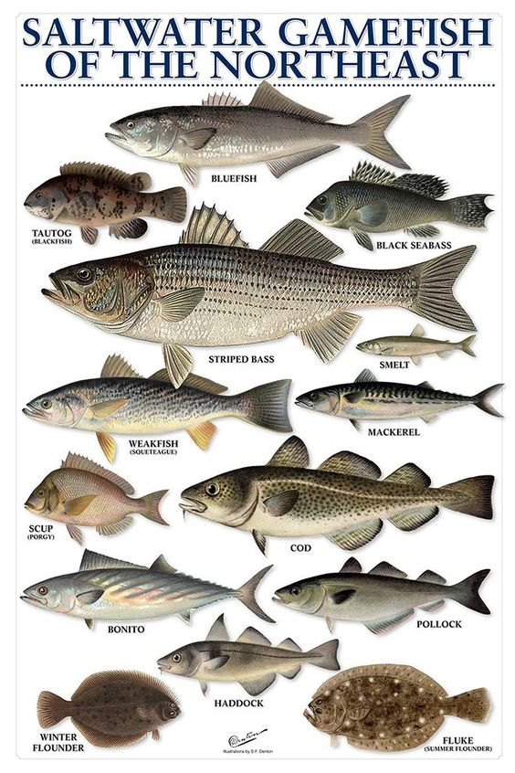 On the water saltwater gamefish of the northeast great for How to saltwater fish