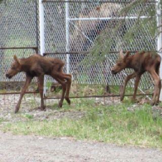 2012 Baby Moose