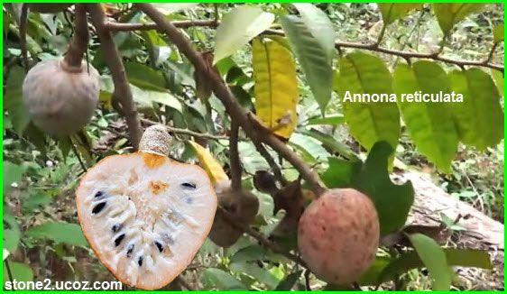 انواع نبات القشطة Annona قائمة الفواكهة النبات معلومات نباتية وسمكية معلوماتية
