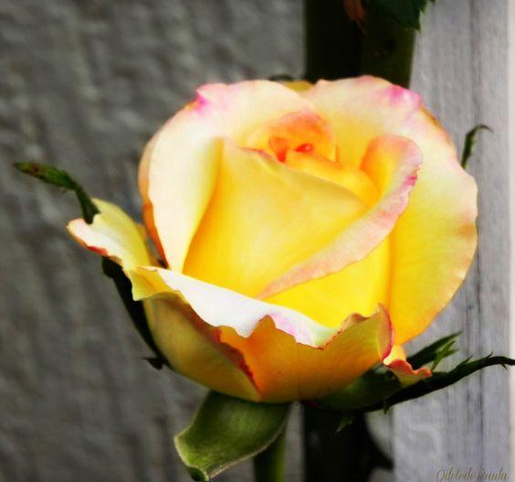 uma rosa de primavera