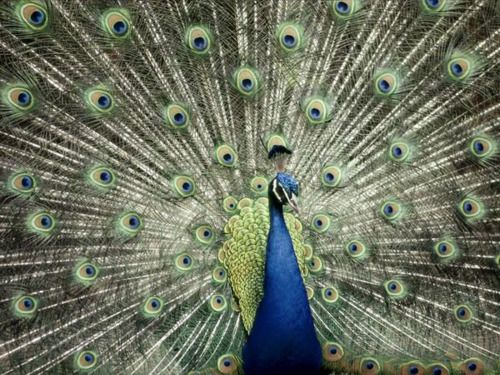 Peacock via National Geographic.  This would make a beautiful quilt.  I've already collected some silk in blues and greens.  Silk gives the right vibrancy and sheen for a peacock, I think.