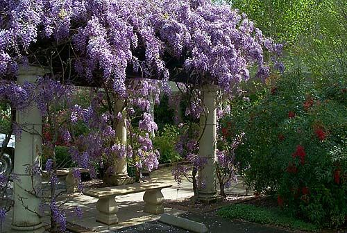 Close up, each cluster is a jewel. Wisteria dripping from a house or a pergola is stunning.  The perfume of a house covered with wisteria?  It can knock you cold.