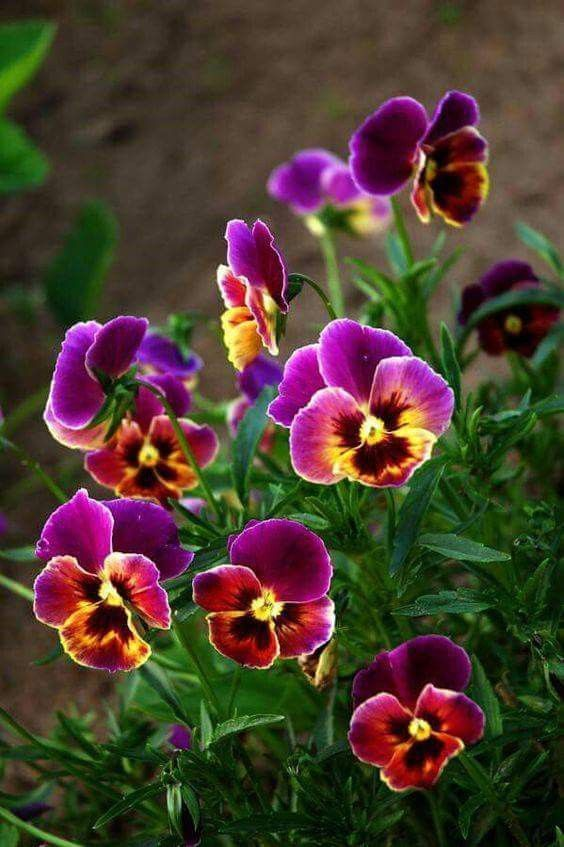 Pansies Perennials Small Flowering Plants Pansies Beautiful Flowers