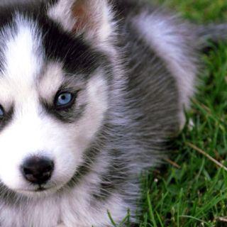 Love huskies