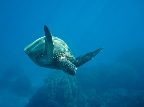 Sea Turtle!  From Tracie Howe Photography.