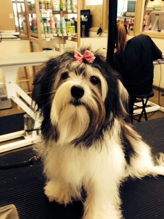 Zoe! She's a Havanese it took me awhile to get the bow in her hair! She looks adorable!