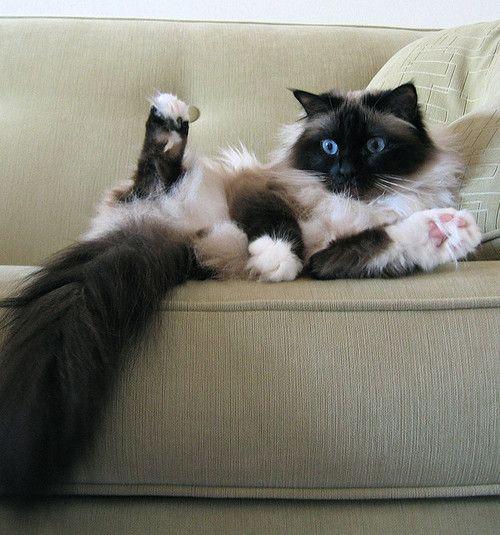 The Birman.  It makes me miss my Gil. True, G.K.C. was technically Hannah's cat, but he was a dear.