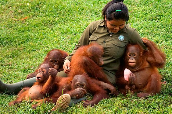 """""""The most common story thatis heardfrom people who hand over these illegal babies is that they were found alone in a village or on a palm oil plantation. This is not the reality. I know from seeing wild and rehabilitated orangutans living within national parks that mothers would never allow their babies to wander off."""" Julie O'Neill - Learn more about the plight of orangutans and IAR's work to help animals around the world. www.internationalanimalrescue.org"""