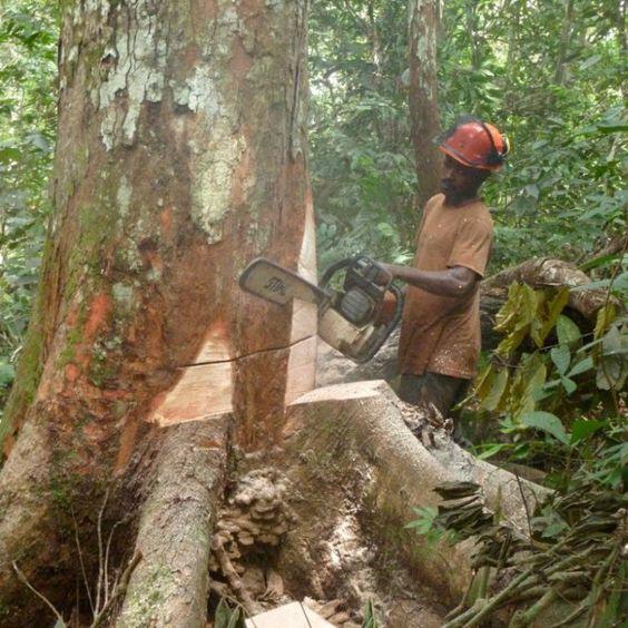 La Chine ? l?assaut du secteur forestier camerounais :: CAMEROON