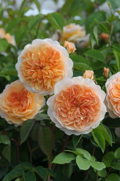 оранжеви рози