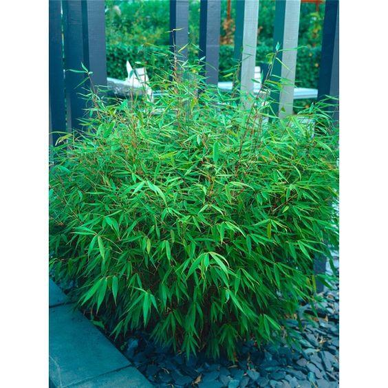 """Garten-Bambus """"Rufa"""" Höhe 80 - 100 cm Topf ca. 7 l Fargesia murielae"""