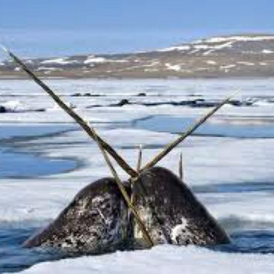 narwhals <3