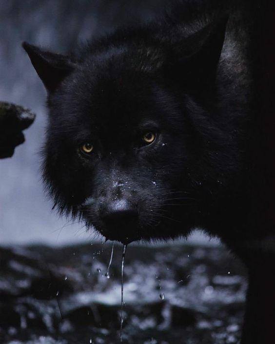 Epingle Par Ä¿¡ä»° Sur Verse Bad Wolf Images Loup Loup Noir Photographie Loup