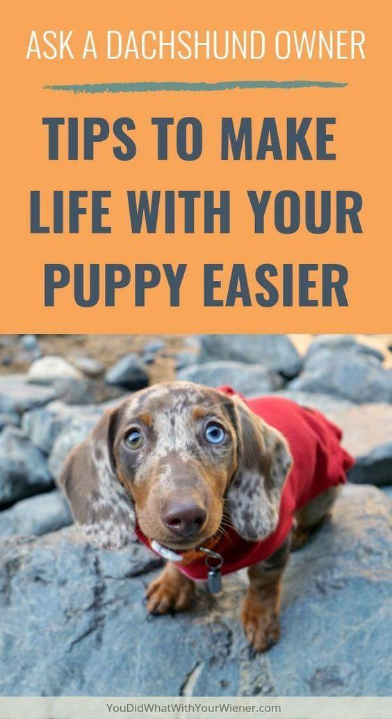 Pin On Dachshund Puppies